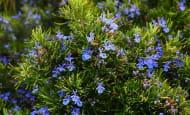 plantes-aromatiques-loches-valdeloire