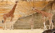 Girafe © Bioparc - P. Chabot