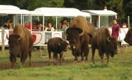 Réserve de Beaumarchais, Autrèche - Bisons d'Amérique
