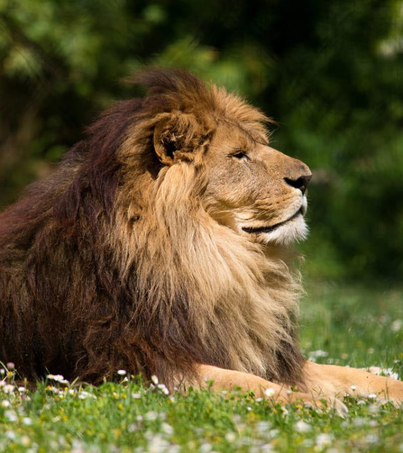 Lion © Bioparc - L. Joffrion