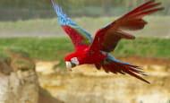 Ara a ailes vertes © Bioparc - P. Chabot